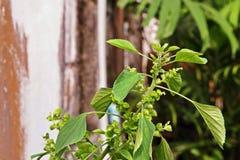 Zielny rocznik, Acalypha indicahttps Obraz Stock