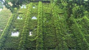 Zielona ściana - pełzacze są w ten sposób silni obraz stock