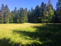 Zielona łąka przeciw sosnowemu lasowi zdjęcie stock
