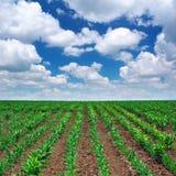 Zielona łąka rzędy Obrazy Royalty Free