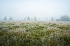 Zielona łąka w ranek rosie i potomstw firtrees w zwartej mgle obraz stock