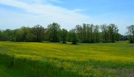 Zielona łąka z żółtymi kwiatami Obrazy Royalty Free