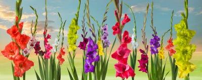 Zielona łąka z gladiola kwiatami Obrazy Stock