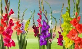 Zielona łąka z gladiola kwiatami Zdjęcie Stock