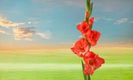 Zielona łąka z gladiola kwiatami Obraz Royalty Free