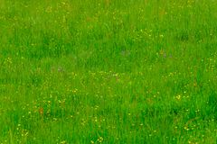 Zielona łąka z kolorowymi kwiatami Zdjęcie Stock