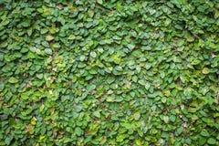 Zielona ścienna selekcyjna ostrość Obraz Royalty Free