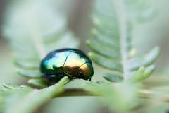 Zielona ściga na liściu w makro- Zdjęcie Stock