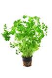 Zielona świeża kędzierzawa pietruszka Fotografia Stock