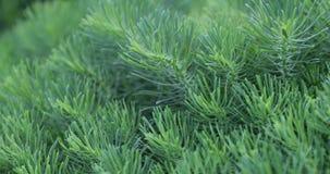 Zielona świerczyna rozgałęzia się w jardzie w lecie zdjęcie wideo