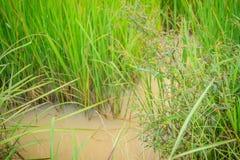 Zielona świrzepy rozrzucania woda i użyźniacze w ryżowym irlandczyku fi Zdjęcia Stock