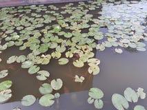 Zielona żółta liść masa w spokój wodzie Obraz Stock