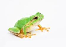 Zielona żaba obraz royalty free