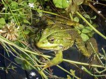 Zielona żaba zdjęcie royalty free