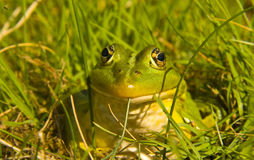Zielona żaba Obrazy Royalty Free
