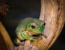 Zielona żaba fotografia royalty free