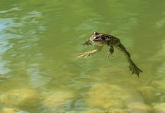 Zielona żaba foating w stawie obrazy royalty free