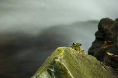 Zielona żaba na skale zdjęcia royalty free
