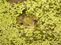 Zielona żaba w wodzie z zieloną roślinnością Zdjęcie Stock