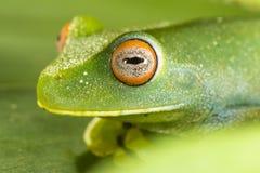 Zielona żaba z czerwienią przygląda się makro- zbliżenie szczegół obraz stock
