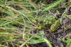 Zielona żaba z kamuflażem - duckweed Fotografia Stock
