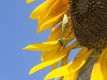 Zielona żerowanie modliszka Je pszczoły obrazy stock