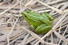 Zielona żaba Zdjęcie Stock
