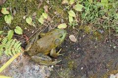 Zielona żaba Obraz Stock
