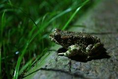 Zielona żaba Obrazy Stock