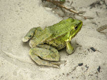 Zielona żaba na piasku Obrazy Royalty Free