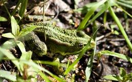 Zielona żaba na stawie Zdjęcia Royalty Free