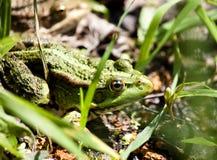 Zielona żaba na stawie Obraz Stock