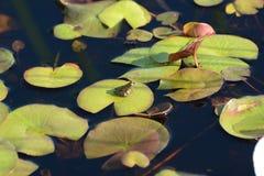 Zielona żaba na wodnych lelujach Zdjęcia Royalty Free