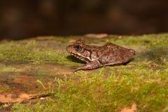 Zielona żaba (Rana Clamitans) Zdjęcie Royalty Free