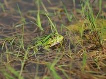 Zielona żaba w stawie Obrazy Stock