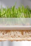 Zielona adra kiełkuje z korzeniami, makro- Obraz Stock