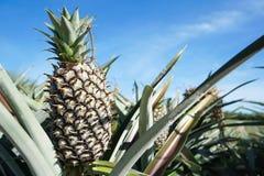 Zielona Ananasowa plantacja w letnim dniu Obraz Royalty Free