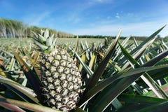 Zielona Ananasowa plantacja w letnim dniu Zdjęcia Royalty Free