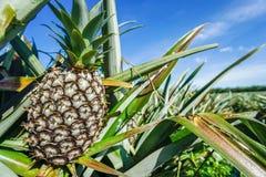 Zielona Ananasowa plantacja w letnim dniu Obrazy Royalty Free