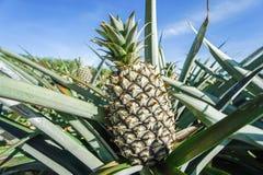 Zielona Ananasowa plantacja w letnim dniu Zdjęcia Stock