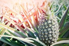 Zielona Ananasowa plantacja w letnim dniu Fotografia Royalty Free
