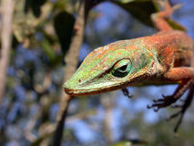 zielona anole jaszczurka Fotografia Stock