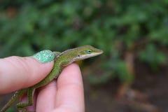 Zielona Anole jaszczurka w ręce w Kauai Hawaje Fotografia Stock