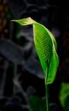 Zielona Anthurium roślina Zdjęcia Stock