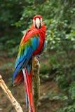 zielona ary papugi czerwony Obraz Stock