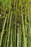 Zielona bambusowa drzewna tekstura Zdjęcia Royalty Free