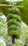Zielona banan gałąź Fotografia Stock