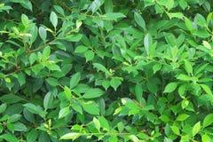 Zielona banyan liścia ściana Fotografia Royalty Free