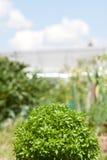 Zielona basil roślina obraz stock