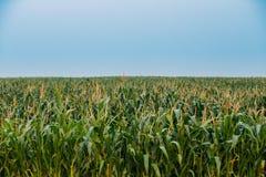 Zielona Bezbrzeżna kukurydzy Kukurydzanego pola plantacja W wiosny lecie Zdjęcia Royalty Free